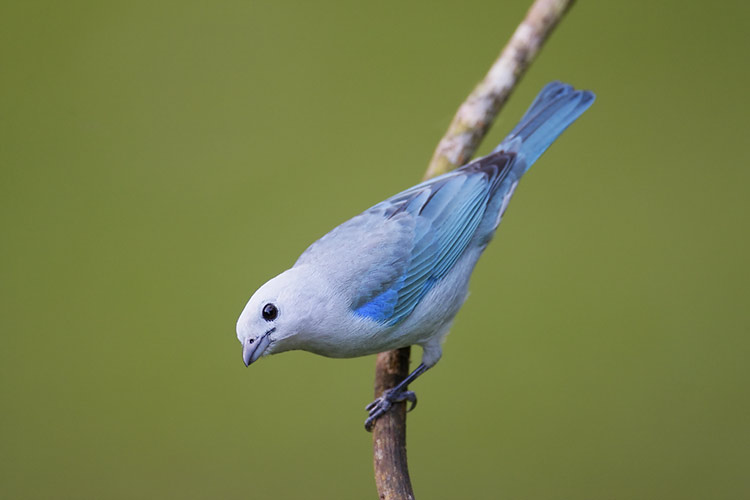Blue Gray Tanager Range Blue-gray Tanager Canopy