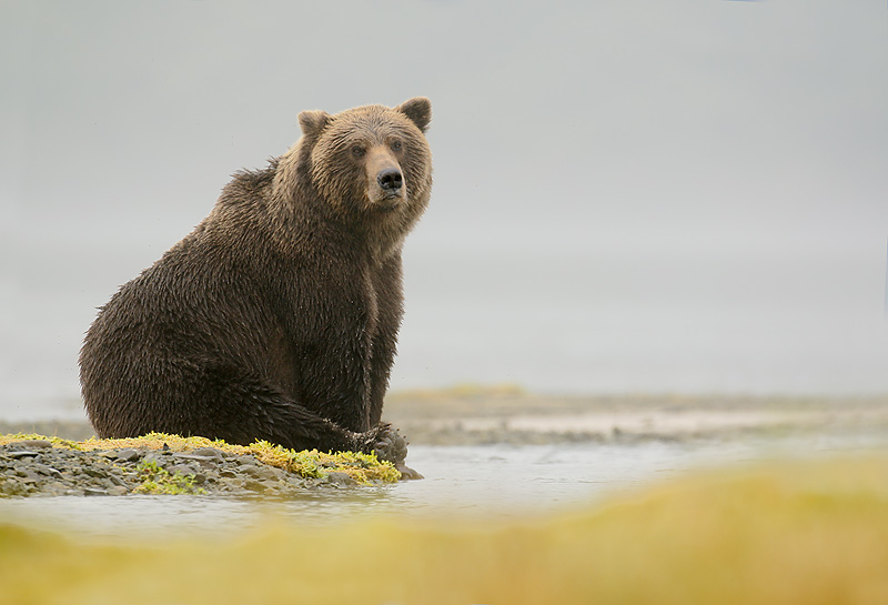 Grizzly bear sitting up - photo#9