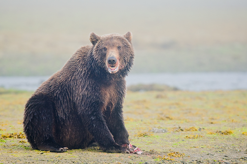 Grizzly bear sitting up - photo#10