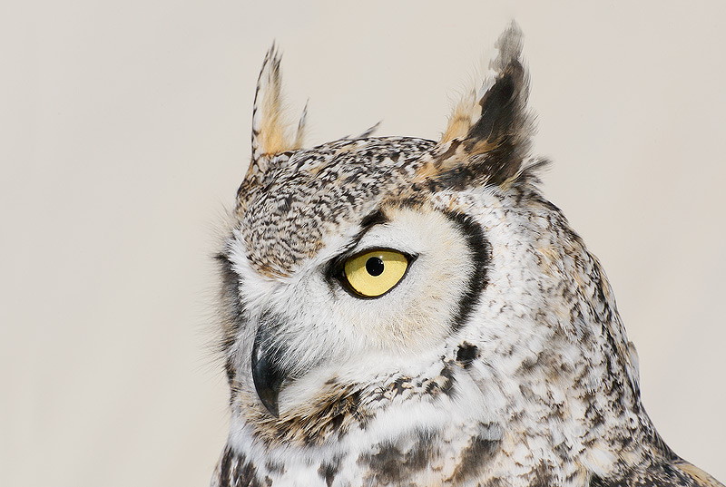 Great Horned Owl Drawing Flying