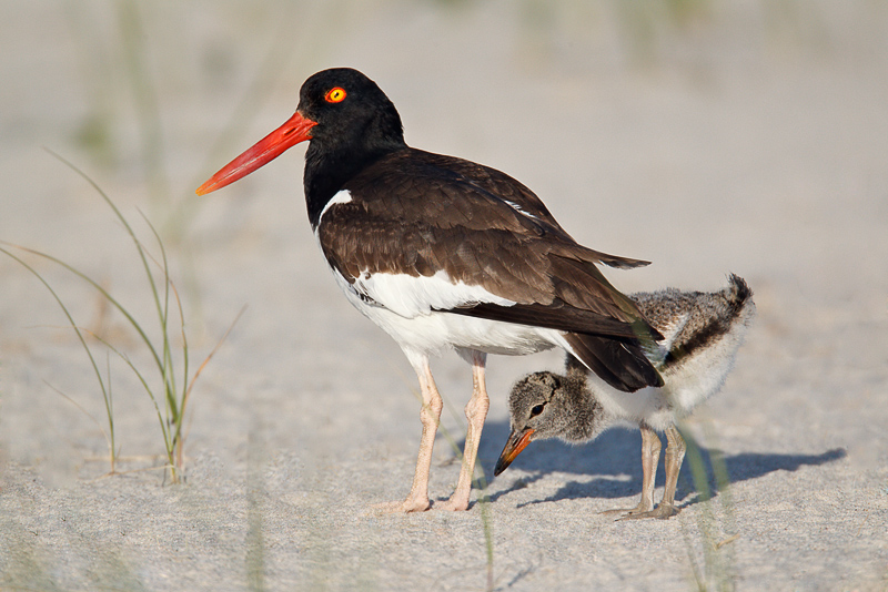 American Oystercatcher, adult with chick, Nickerson Beach, LI, NY