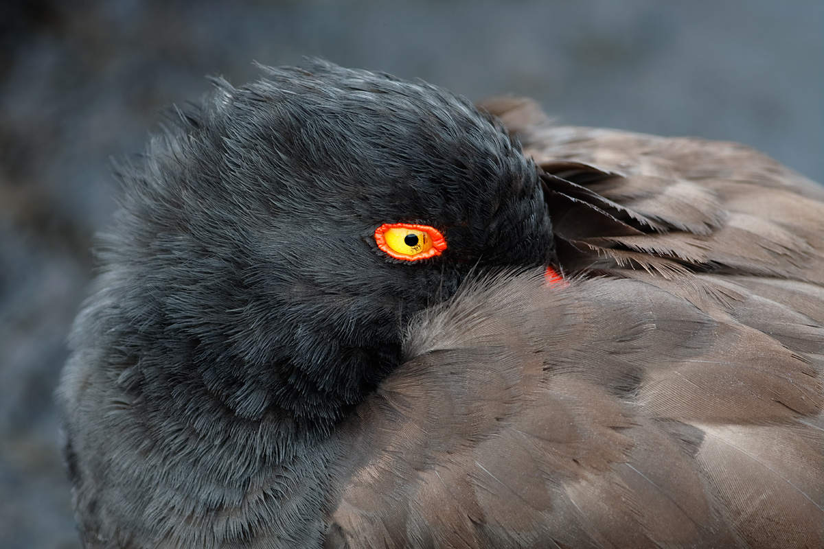 american-oystercatcher-tight-close-up-of-head-of-sleeping-bird-_09u3664-james-bay-puerto-egas-santiago-galapagos
