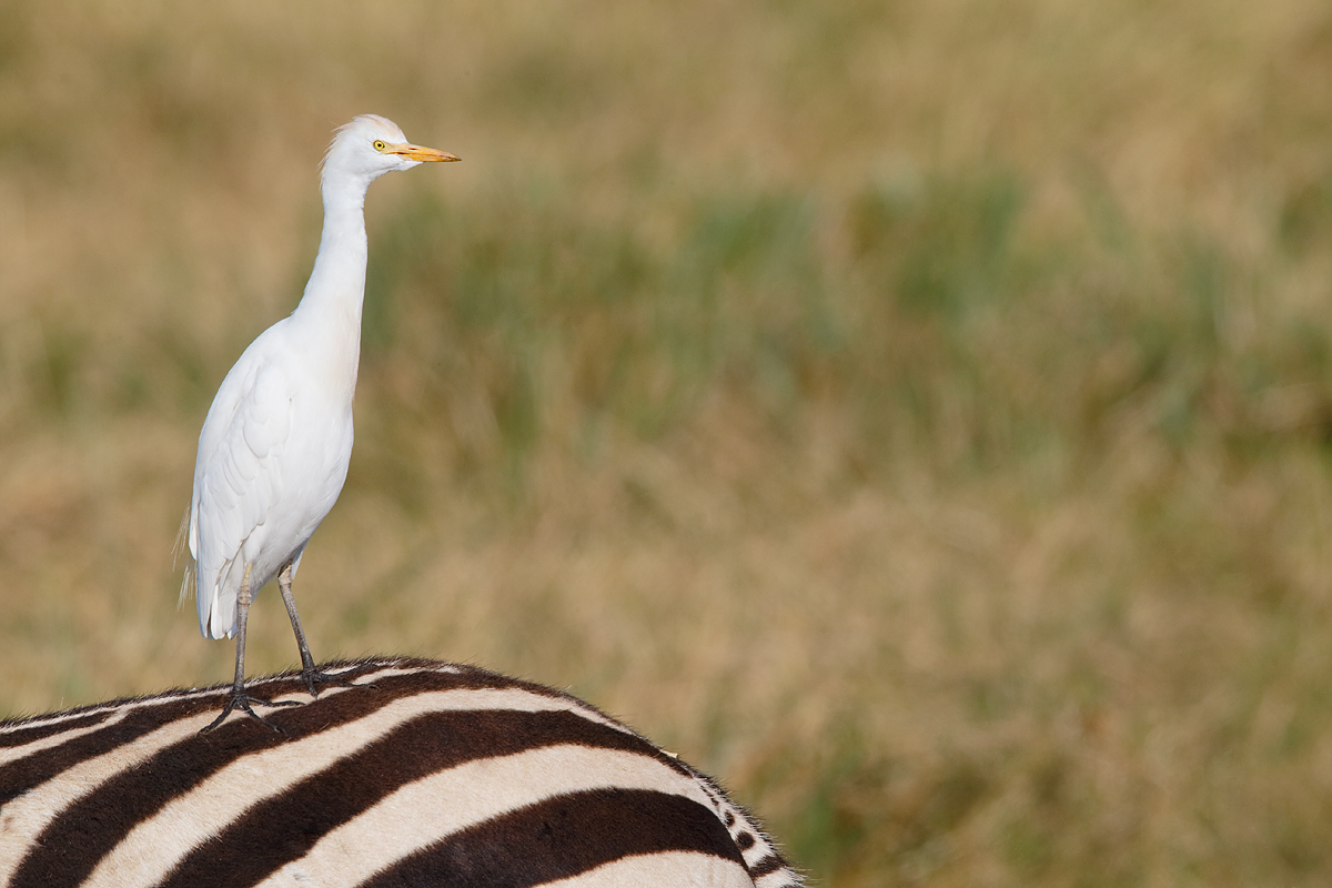 cattle-egret-on-back-of-burchells-zebra-_y5o6823-ngorongoro-crater-tanzania