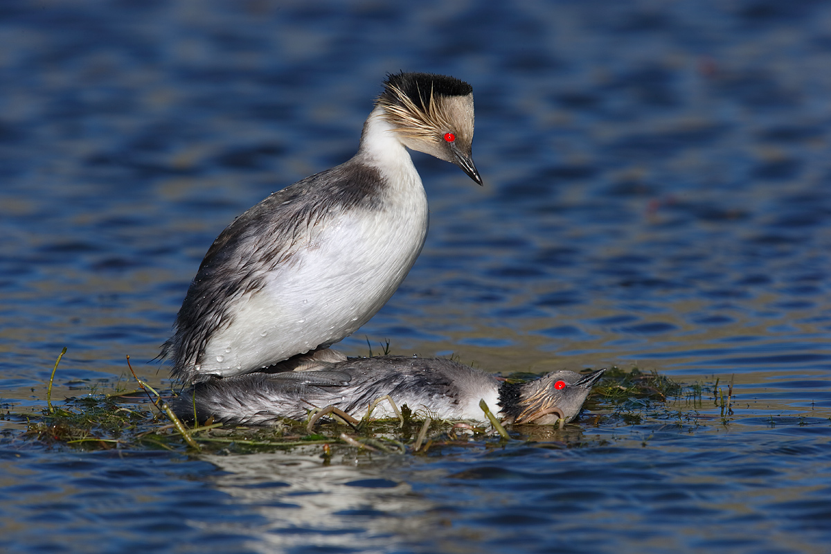 silvery-grebes-copulating-on-nest-_y7o1593-torres-del-paine-national-park-chile