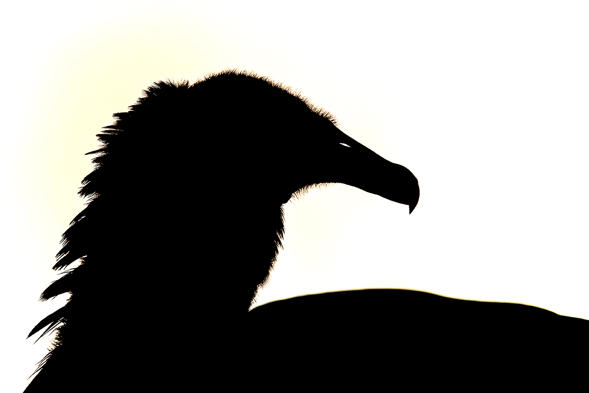 black-vulture-blasting-highlights-silh-_y7o0995-anhinga-trail-everglades-national-park-fl