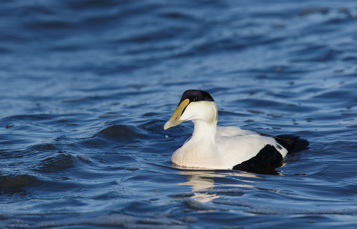 common-eider-drake-in-sun-_y7o2415-westhampton-beach-long-island-ny