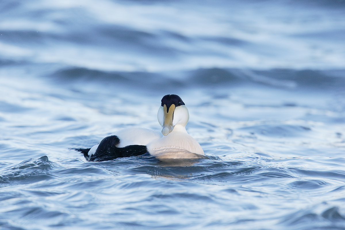 common-eider-drake-iso-1600-_y7o2453-westhampton-beach-long-island-ny