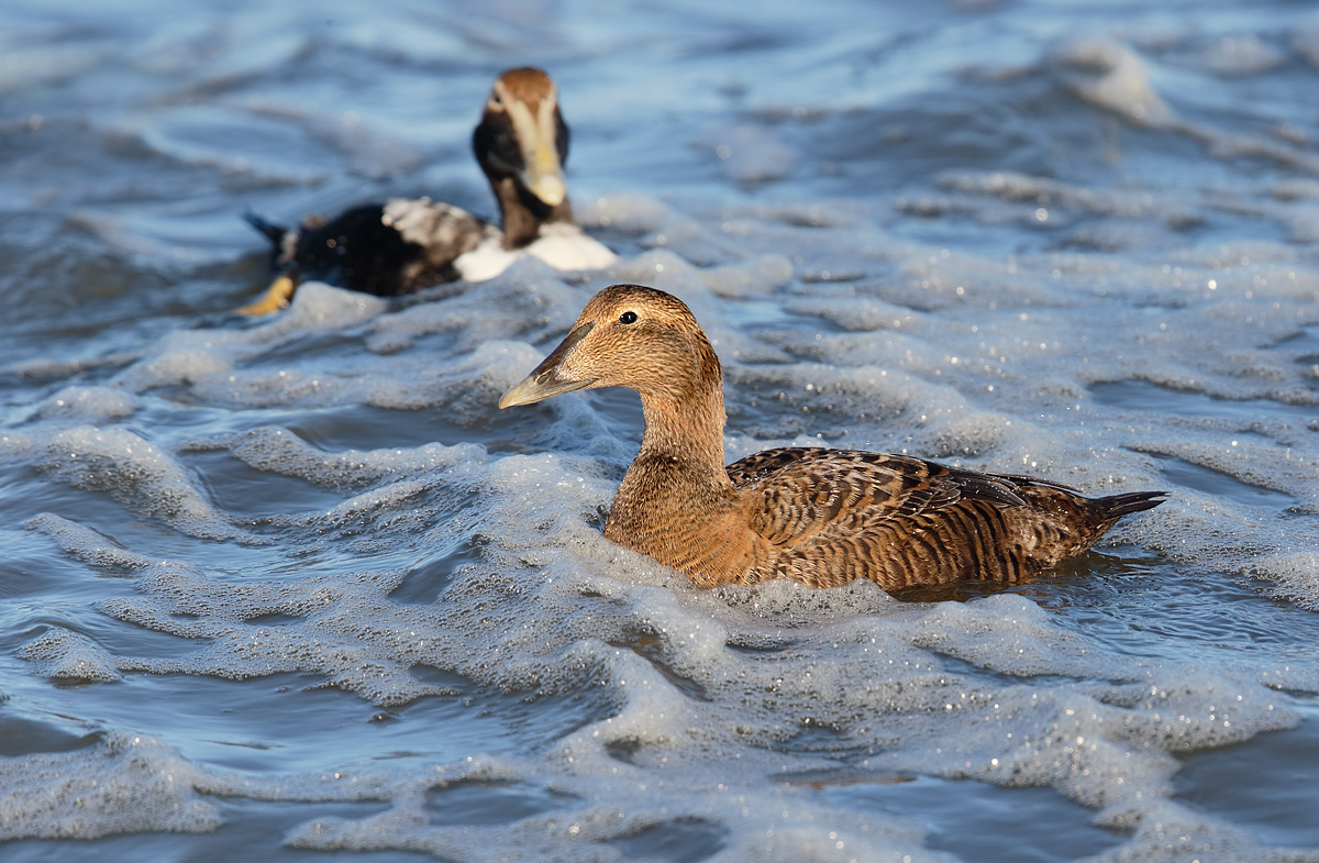 common-eiders-hen-and-immature-male-_y7o2387-westhampton-beach-long-island-ny