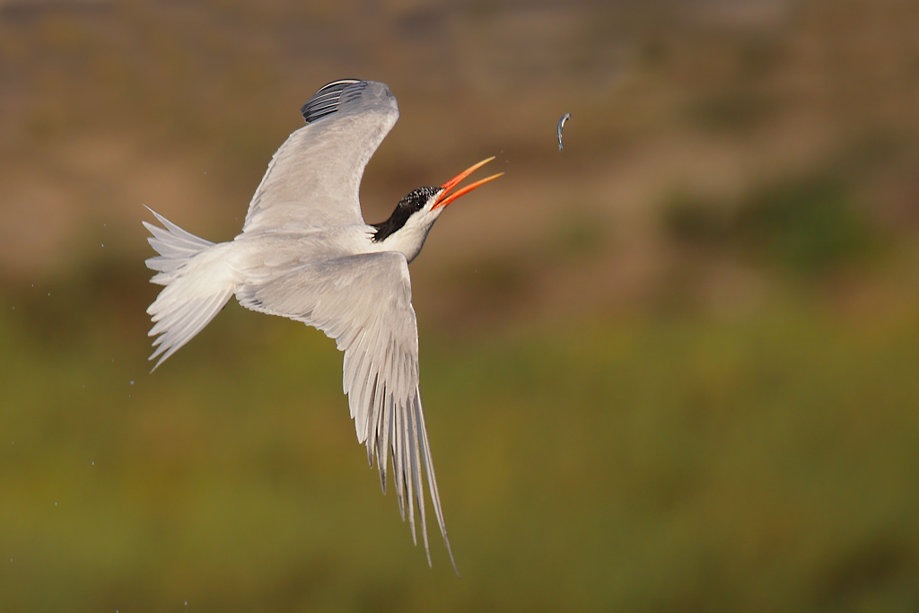 elegant-tern-flipping-fish