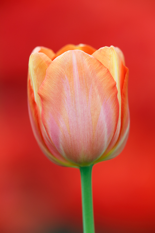 flower-book-red-tulip