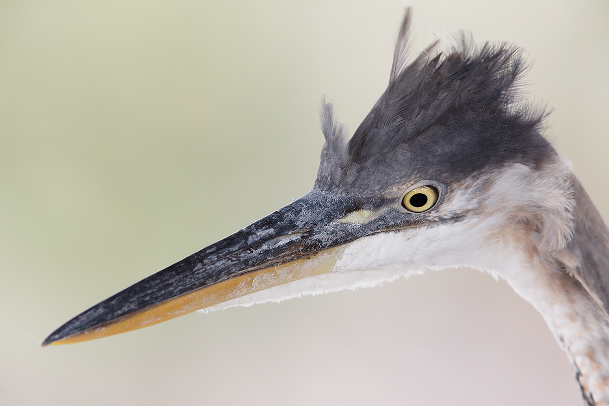 great-blue-heron-juvenile-head-and-bill-_a1c1431-venice-rookery-south-venice-fl