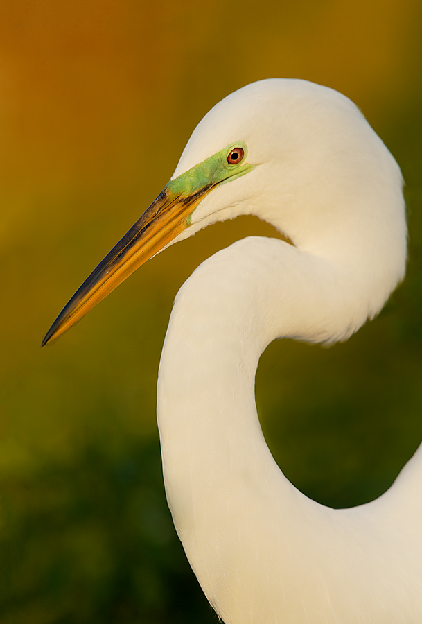 great-egret-breeding-plumage-eml-_y5o8870-gatorland-kissimmee-fl