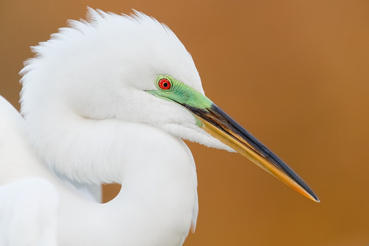 great-egret-breeding-plumage-head-at-dusk-_y5o9572-gatorland-kissimmee-fl