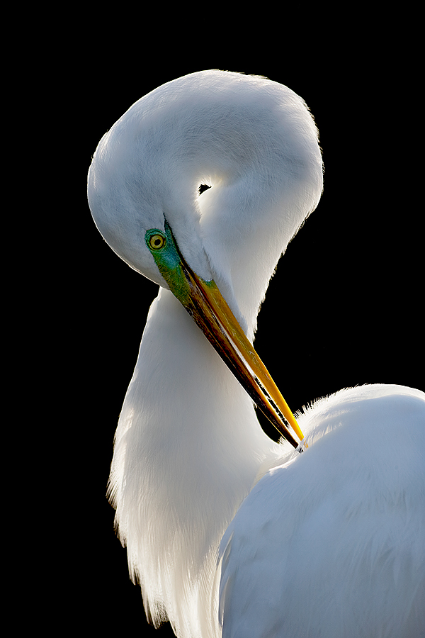 great-egret-preening-backlit-extreme-version-_y7o0917-gatorland-kissimmee-fl