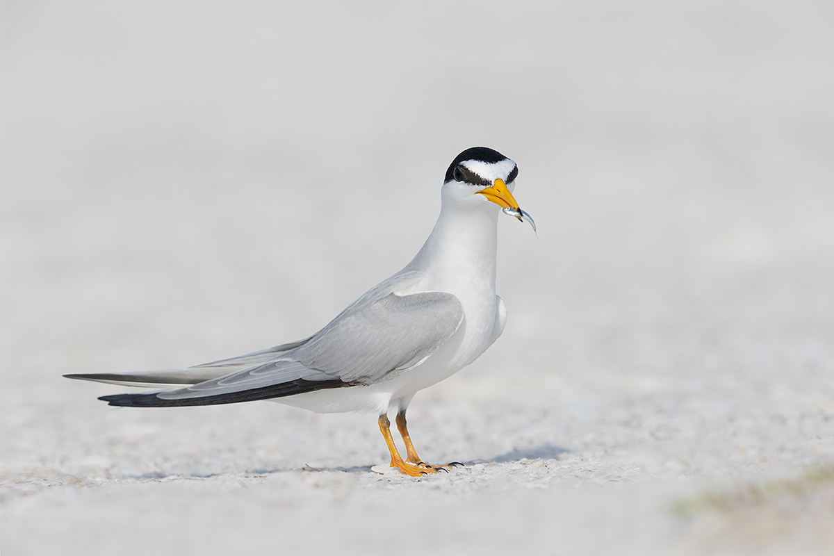 least-tern-with-fish-for-courtship-_y7o1557-fort-desoto-park-st-petersburg-fl