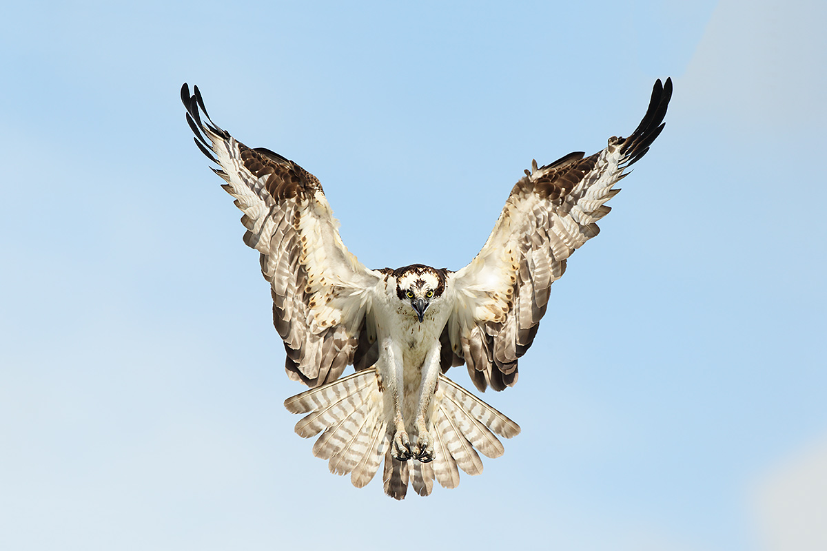 osprey-landing-condutor-pose-y5o2259-lake-blue-cypress-indian-river-county-fl