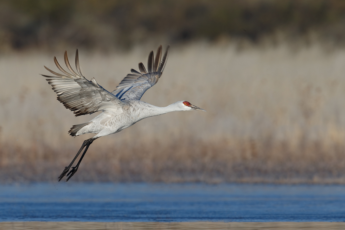 sandhill-crane-taking-flight-600ii-2x-iii-_y5o9849-bosque-del-apache-nwr-san-antonio-nm