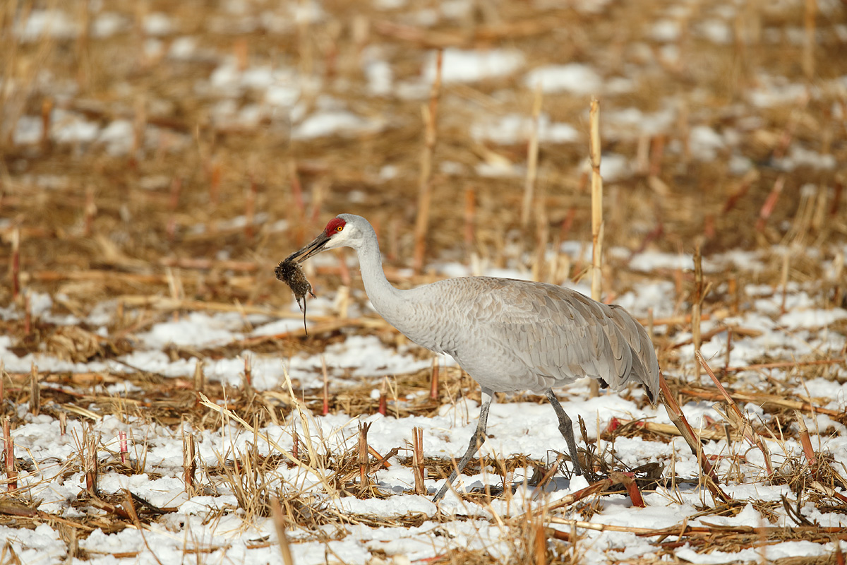 sandhill-crane-with-scavenged-mouse-carcass-_y5o8210-bosque-del-apache-nwr-san-antonio-nm