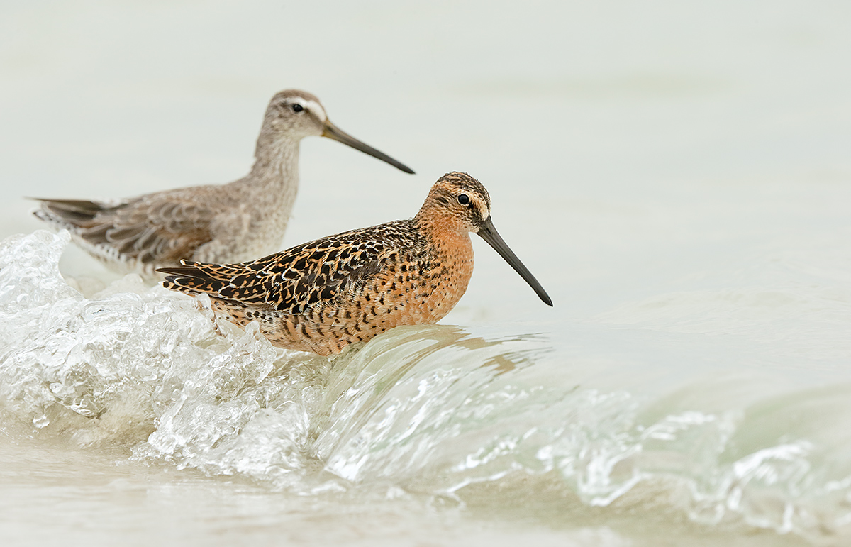 short-billed-dowitcher-breeding-and-non-breeding-plumage-_y7o2220-fort-desoto-park-st-petersburg-fl