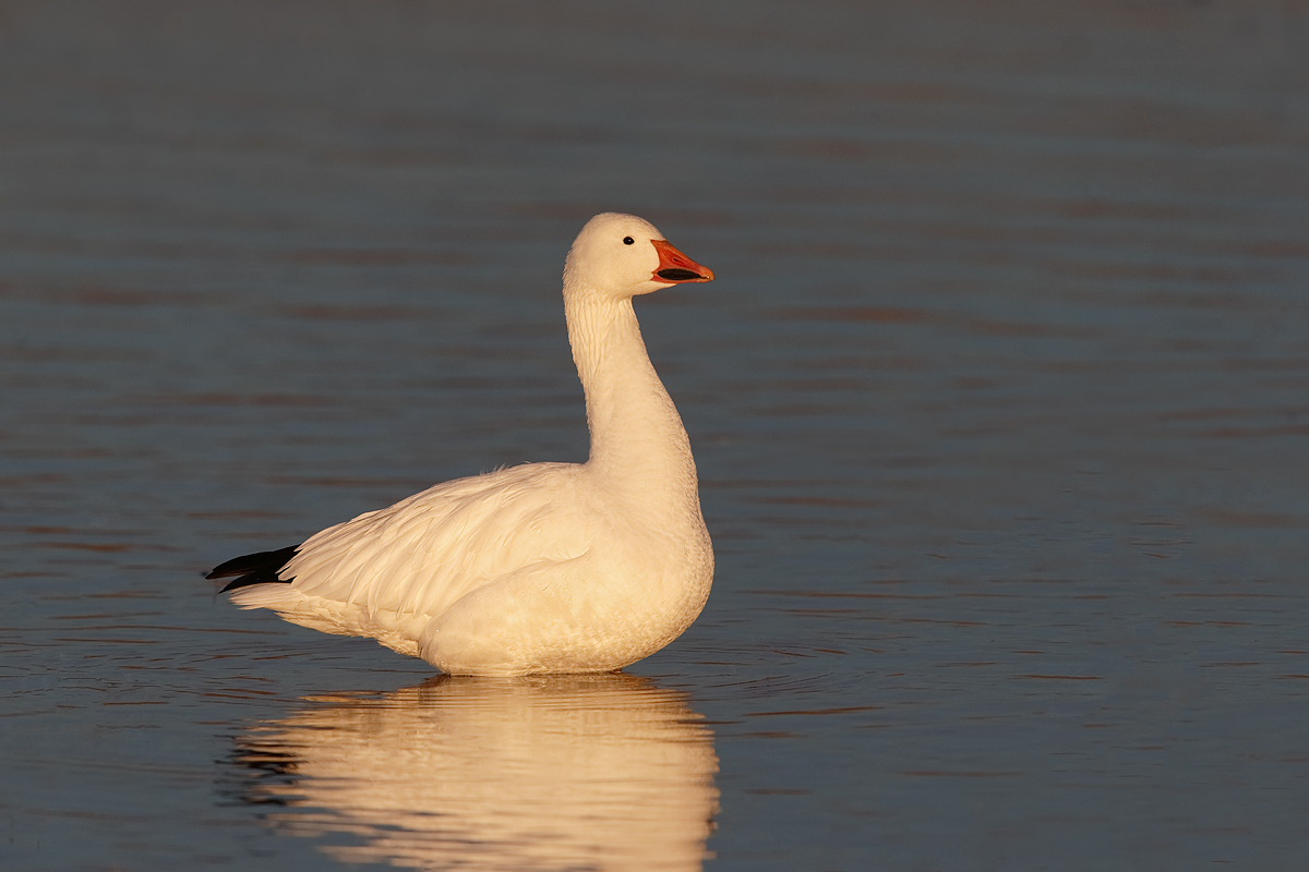 snow-goose-this-one-in-early-morning-light-_y7o9291-bosque-del-apache-nwr-san-antonio-nm