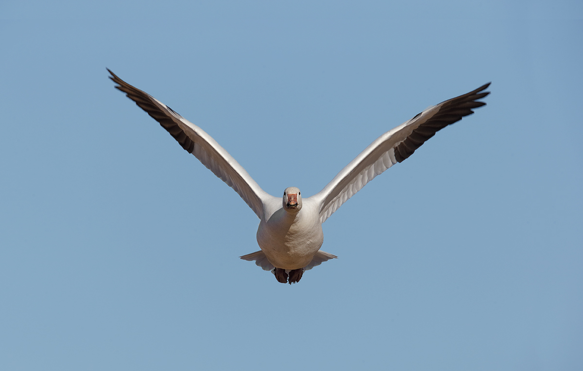 snow-goose-wings-up-1200mm-_y7o1249-bosque-del-apache-nwr-san-antonio-nm