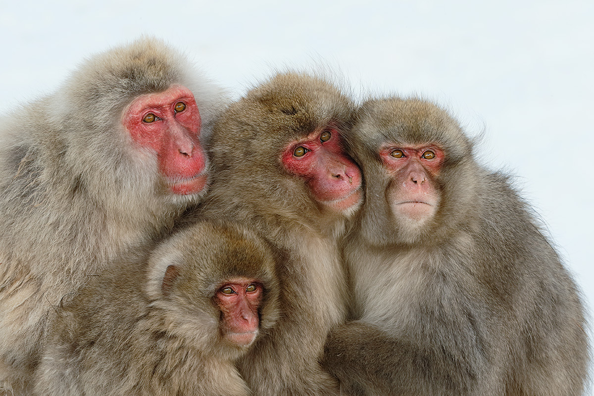 snow-monkey-family-huddled-together-_y5o8417-jigokudani-yaenkoen-nagano-prefecture-japan