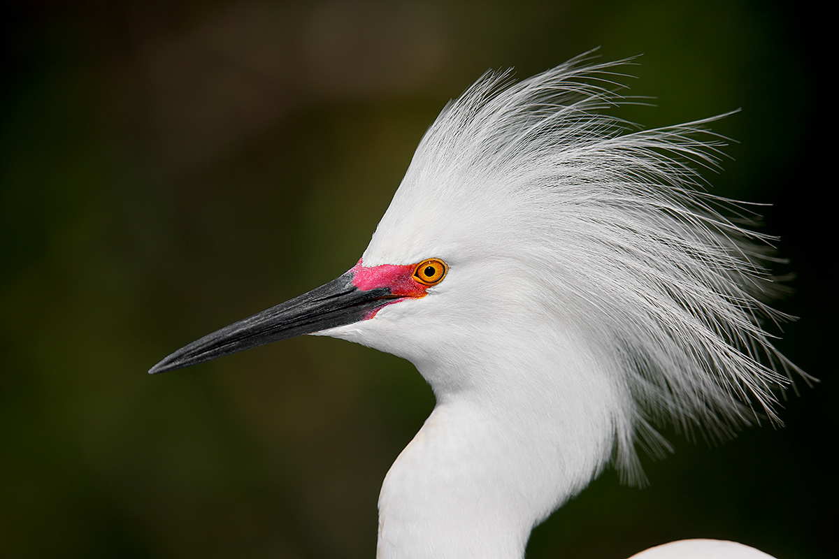snowy-egret-displaying-head-portrait-_a1c9910-gatorland-kissimmee-fl