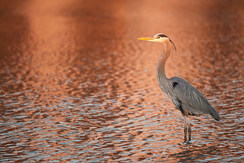 great-blue-heron-in-condo-reflections-_y9c0891-little-estero-lagoon-fort-myers-beach-fl