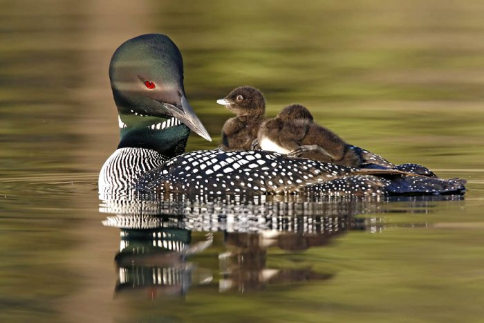 common loon in flight. common-loon-and-chicks-june-