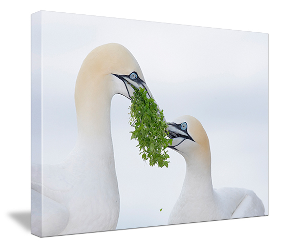 BAA Canvas Prints