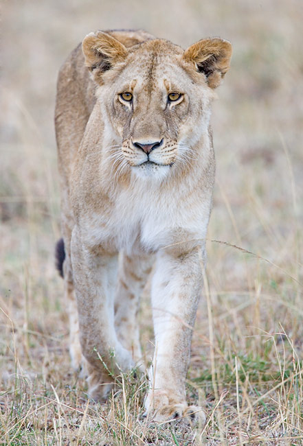 Lioness Front View View topic - our kingd...