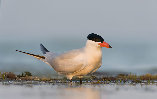 latest images of Caspian tern bird wiki