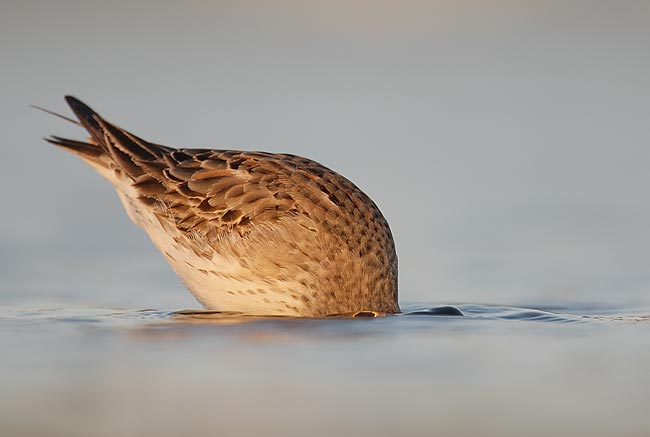 White-rumped Sandpiper, worn, molting adult feeding, East Pond, ...