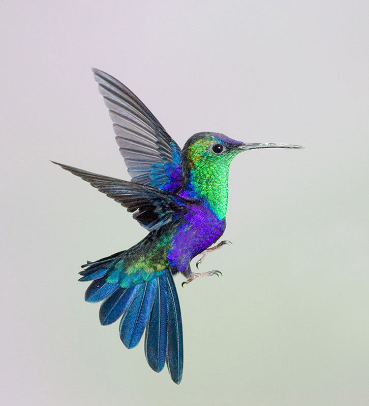 Colorful hummingbirds flying - photo#41