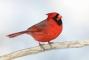 northern-cardinal-white-version-9m4o1493-morton-nwr-noyac-ny.jpg